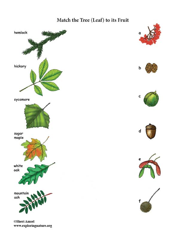 Match the Tree (Leaf) to its Fruit