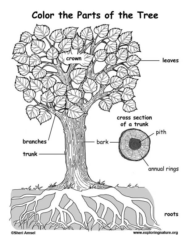 The Parts Of A Tree