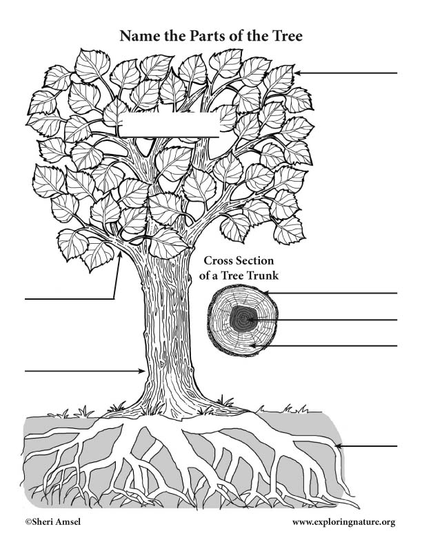label the parts of a tree and trunk