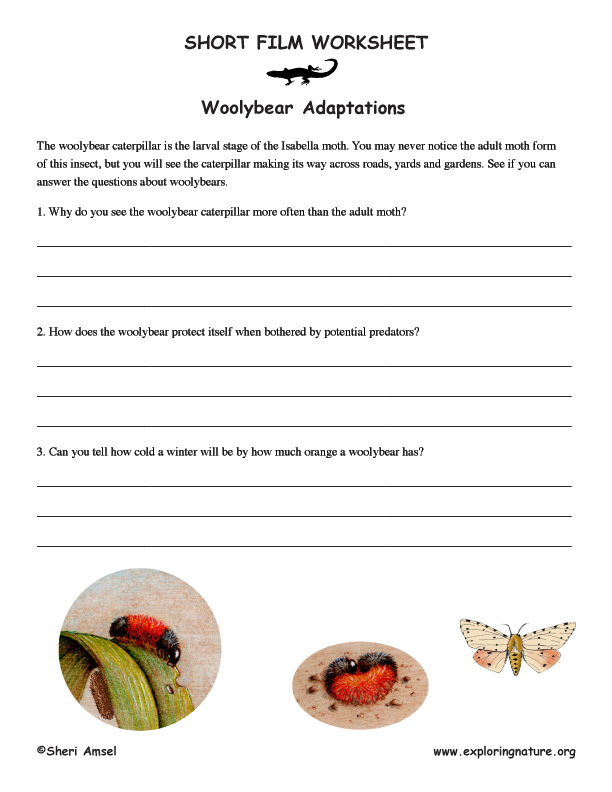 The Cool Adaptations of the Woolybear Caterpillar