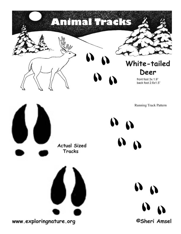 Deer (Whitetail) Tracks