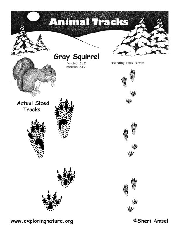 Squirrel Gray Tracks Exploring Nature Educational