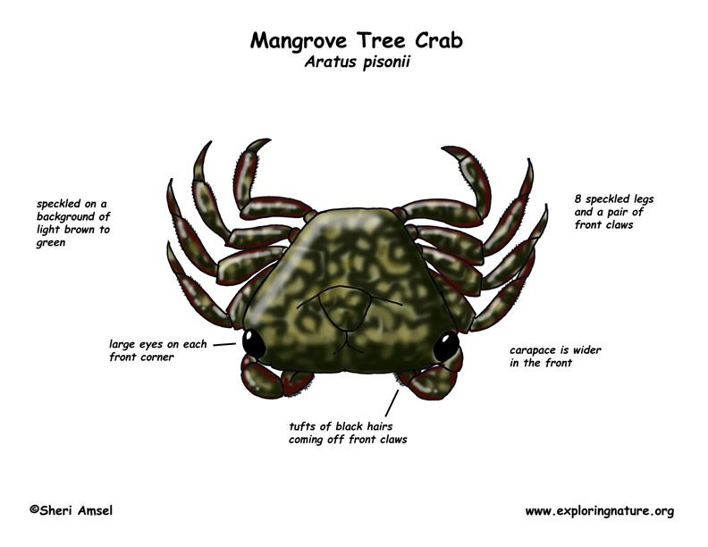 Crab (Mangrove Tree)