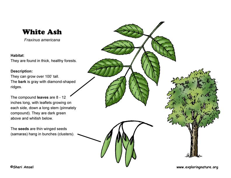 Ash (White)
