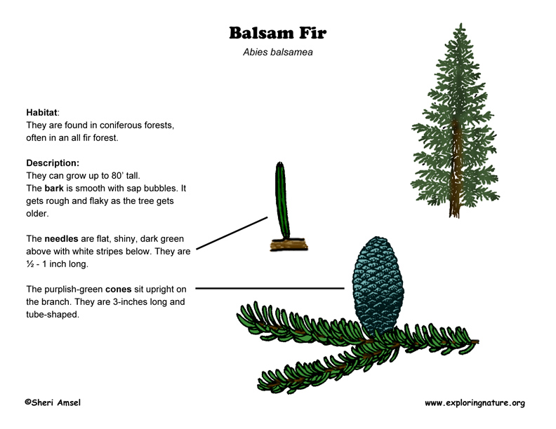 Balsam fir balsamfirdiagram72g ccuart Gallery