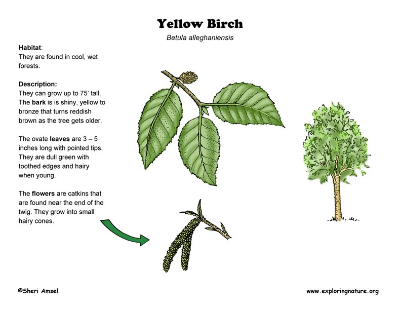 birch  yellow