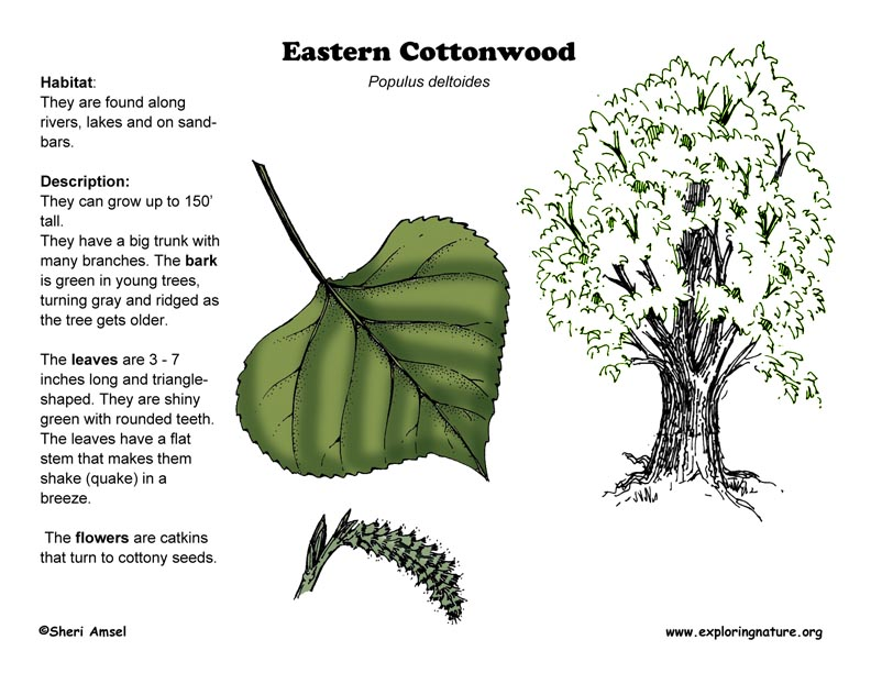 cottonwood  eastern