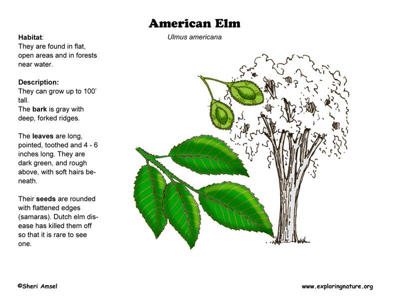 Elm  American