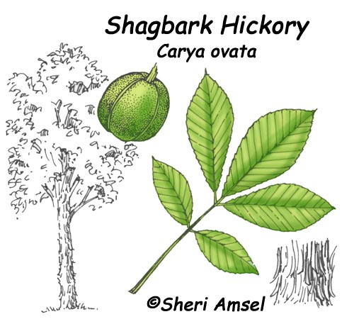 Discussion on this topic: How to Identify Hickory Trees, how-to-identify-hickory-trees/