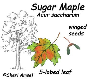 Tree Coloring Page Maple Sugar Guide Jpg