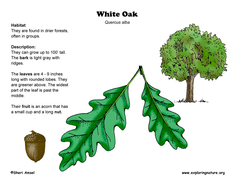 oak (white) tree diagram sentence generator online oak tree diagram
