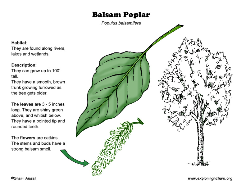 Poplar balsam ccuart Gallery