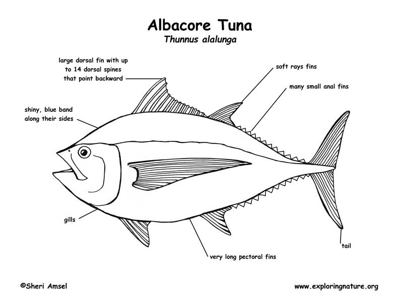 tuna  albacore  labeling page