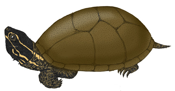 Stinkpot turtle or Common Musk Turtle