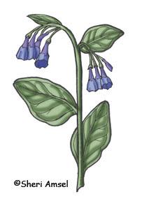 Bluebells (Virginia)
