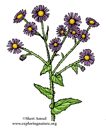Fleabane (Common)
