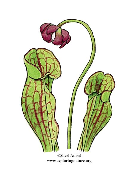 Pitcher Plant (Northern)
