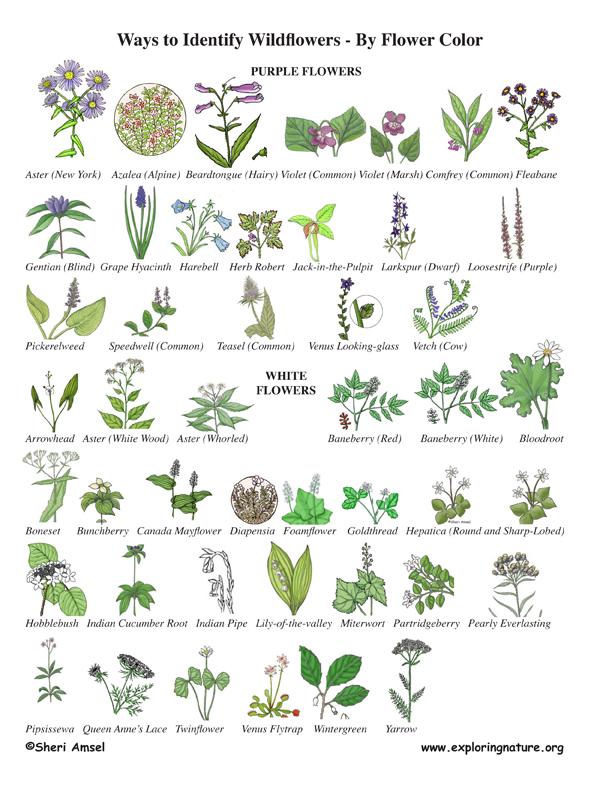 Goldenrod Plant Seed Wildflower Identificat...