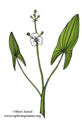 Arrowhead (Common)