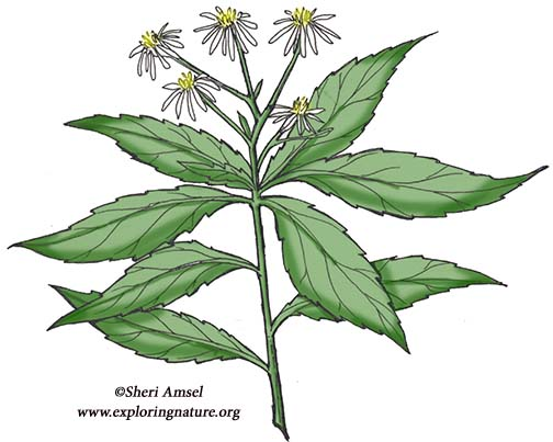 Aster (Whorled) or Sharp-leaved Aster