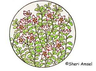 Azalea (Alpine)