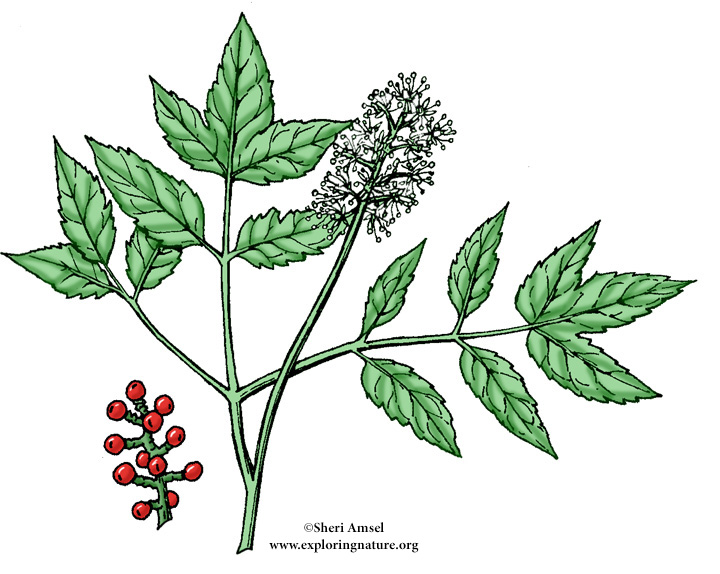 Baneberry (Red)