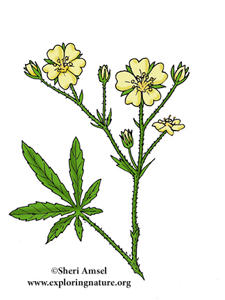 Cinquefoil (Rough-fruited)