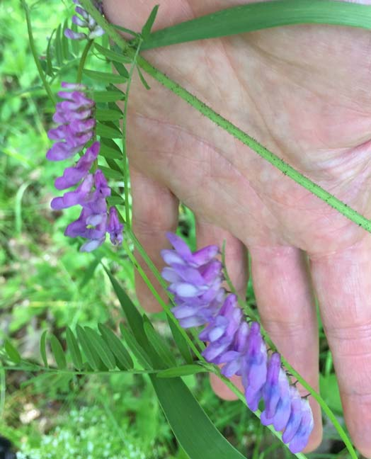 Vetch (Cow) Photo