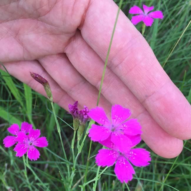 Deptford Pink Photo