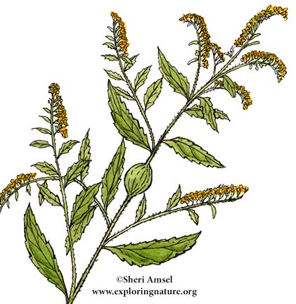 Goldenrod (Rough Stemmed)