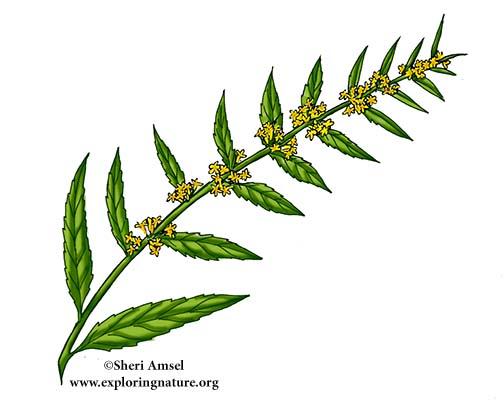 Goldenrod (Woodland) or Blue-stemmed