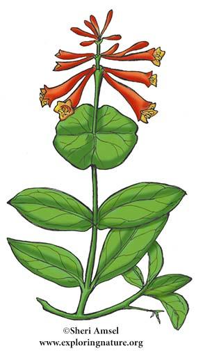 Honeysuckle (Trumpet)