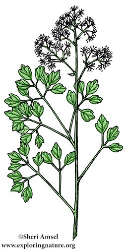Meadow Rue (Tall)