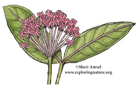Milkweed (Common)