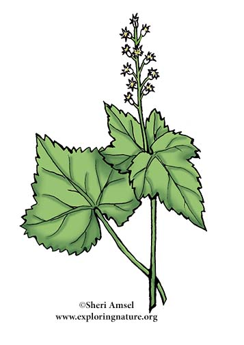 Miterwort (Bishop's Cap)