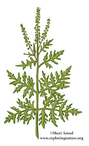 Ragweed (Common)