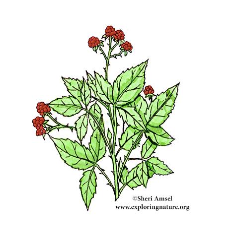 Raspberry (Wild)