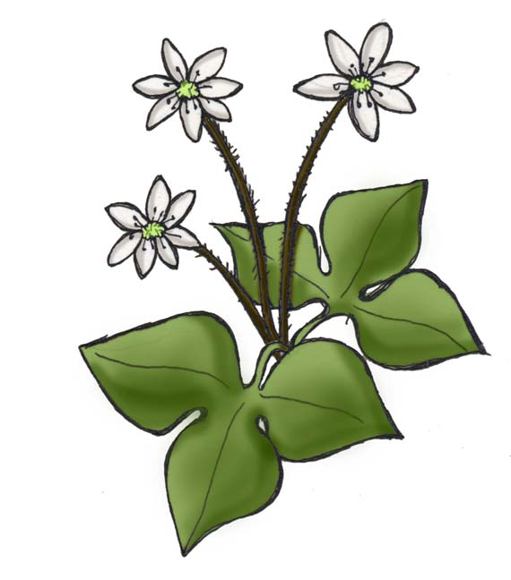Hepatica (Sharp-Lobed)