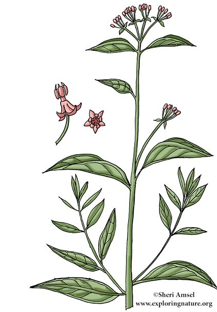 Milkweed (Swamp)