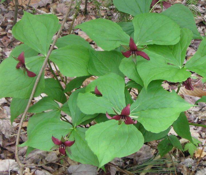 Trillium (Red)