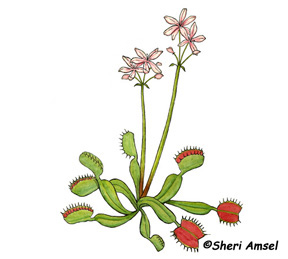 http://www.exploringnature.org/graphics/wildflowers/venus%20flytrap.jpg