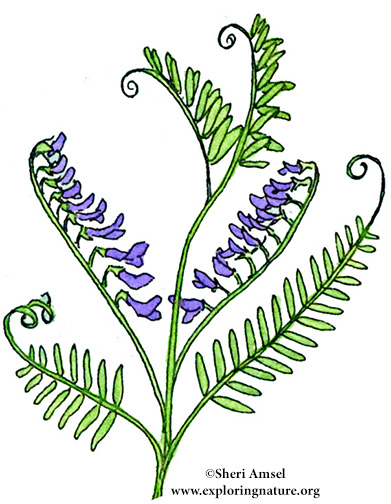 Vetch (Cow)