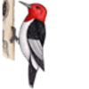 Woodpecker (Red-headed)