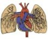 Pulmonary Circulation  - Through Heart and Lungs (Advanced*)