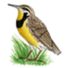 Meadowlark (Eastern)