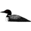 Loon (Common)