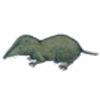 Adaptations of the Short-tailed Shrew