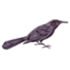 Grackle (Common)