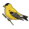 Goldfinch (American)