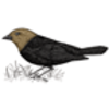 Cowbird (Brown-headed)